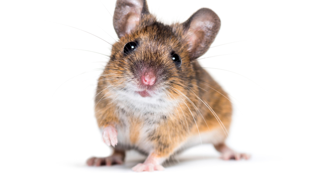 mus eller datamus - problemer blir det uansett